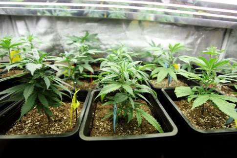 Kölner Politiker stimmen für Cannabis