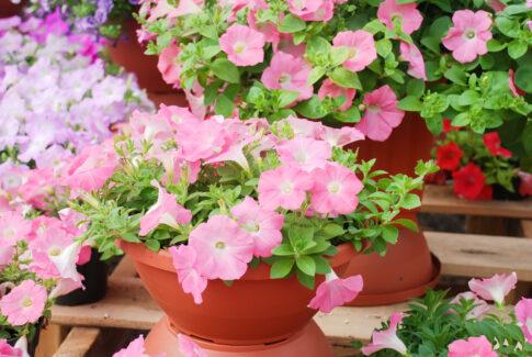 Petunien – Pflege, Pflanzung, Samen und Standort